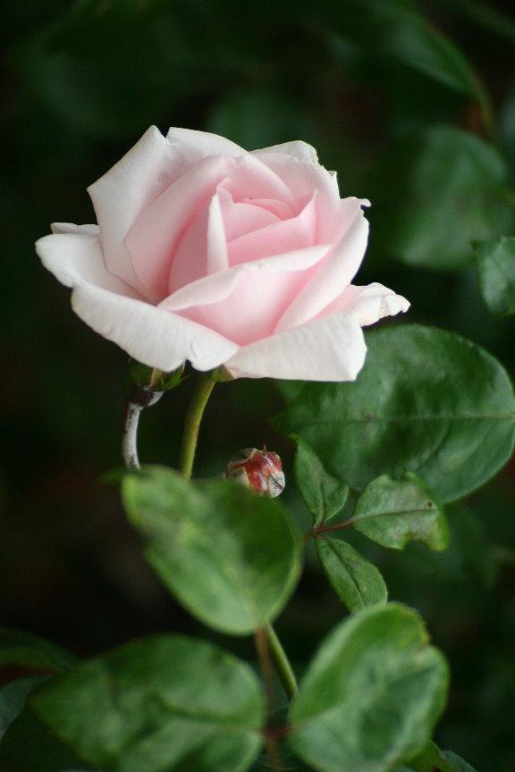 rosen mehltau mehltau an rosen gartentr ume pilzkrankheiten an rosen landwirtschaftskammer. Black Bedroom Furniture Sets. Home Design Ideas